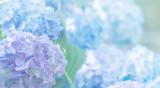 hydrangea flowers close up