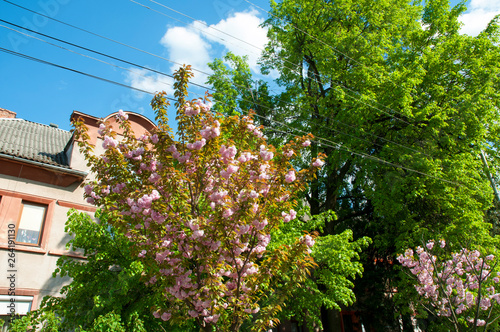 Photo Stands Vienna blooming sakura spring in the city under an open blue sky next to green trees and bushes