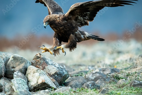 Deurstickers Eagle Hunting Goldean Eagle (Aquila chrysaetos) at mountain meadow in Eastern Rhodopes, Bulgaria
