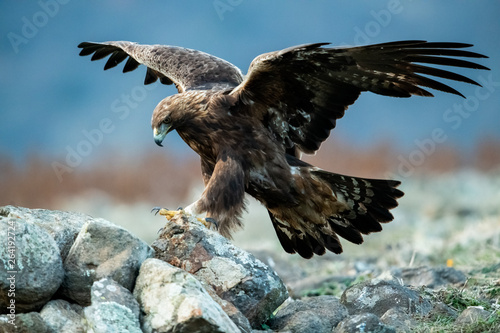 Foto Hunting Goldean Eagle (Aquila chrysaetos) at mountain meadow in Eastern Rhodopes