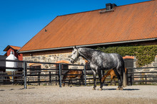 Dapple-grey Horse In A Corral. Thoroughbred Horses Eat And Drink In Paddock.