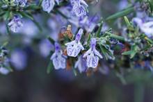 Detail Of White And Purple Rosemary Flowers