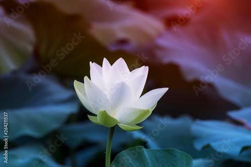Garden Poster Lotus flower white lotus flower in pond