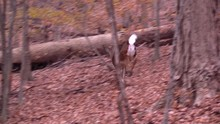 Whitetail Doe Running Through The Forest