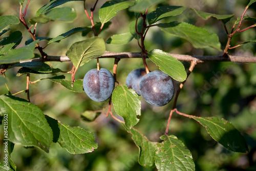 Prunus spinosa blackthorn, or sloe Canvas-taulu