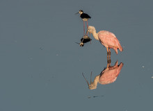 Roseate Spoonbill And Reflection At Sunrise