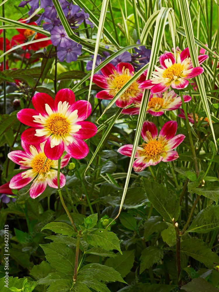 Colourful Dahlias with variegated grass in a flower border