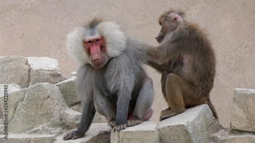 Fotografie, Obraz  female baboon grooming male baboon