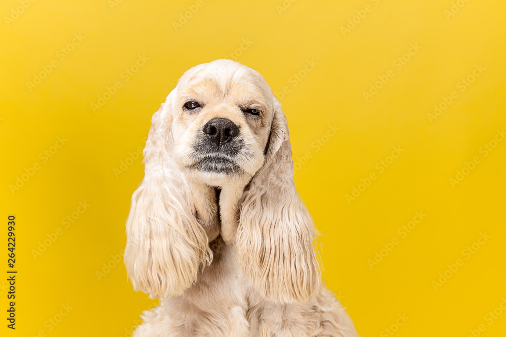 Fototapety, obrazy: Studio shot of american spaniel playing