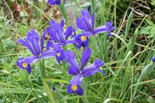 Bouquet D'iris Botanique