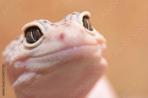 Fototapeta Uśmiechnięty gekon obraz