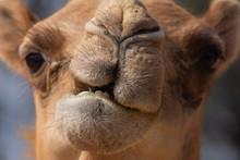 Close-up Of A Desert Dromedary...