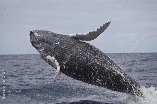 Fotografía  Humpback whale breaching in the Caribbean