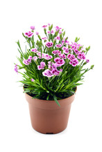 Red White Carnation Flower (Dianthus Caryophyllus) On Isolated Background