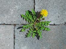 Top View Of Yellow Dandelion F...