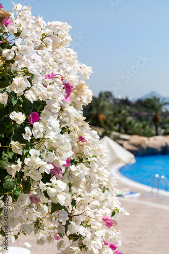 Fototapety, obrazy: Blooming White Bougainvillea Flowers
