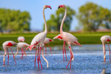 Nature And Birds. Bird: Greater Flamingo. Phoenicopterus Roseus. Green Blue Nature Background.