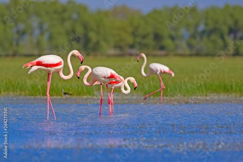 Garden Poster Flamingo Nature and birds. Bird: Greater Flamingo. Phoenicopterus roseus. Green blue nature background.