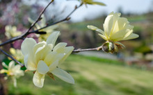 "Blooming Yellow Magnolia ""Daph..."