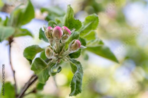 Fototapeta Apple tree bud close up, macro photo obraz