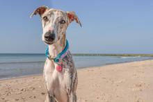 Hübsche, Neugierige Whippet Hündin / Windhund  Am Strand