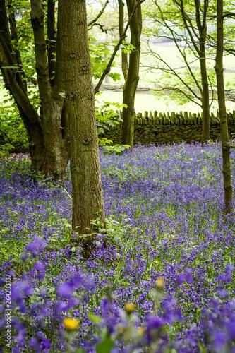 Foto op Aluminium Bossen Elland Wood Bluebells