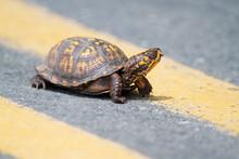 Eastern Box Turtle Crossing The Road