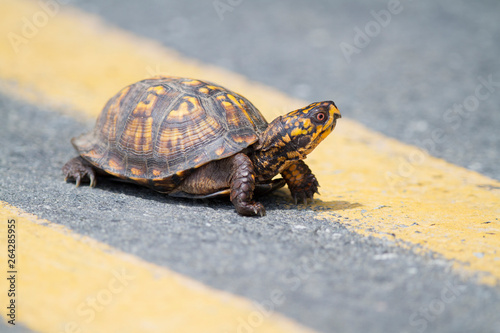 Poster Tortue Eastern Box Turtle Crossing the Road