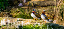 Two Male Mandarin Ducks Standi...