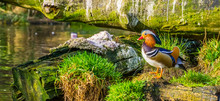 Closeup Of A Male Mandarin Duck Standing At The Water Side, Tropical Bird From Asia