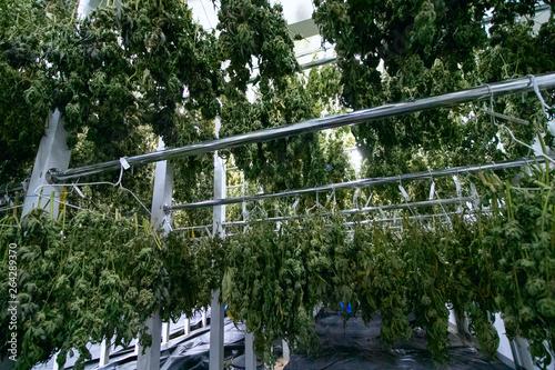 Vászonkép Marijuana Drying Racks