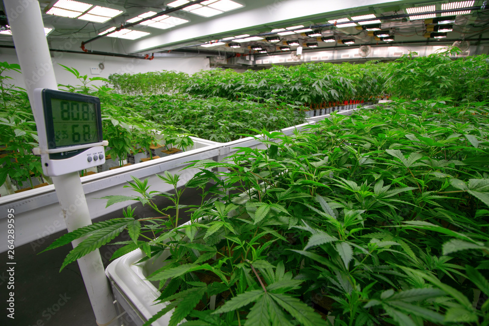 Fototapety, obrazy: Indoor Cannabis Facility Temperature