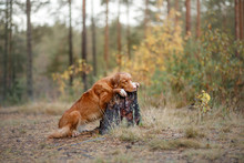 Nova Scotia Duck Tolling Retriever In The Forest. Hike With A Dog