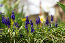 Muscari - Blue Grape Hyacinth. Spring Flowers. Muscari Armeniacum Plant With Blue Flowers.