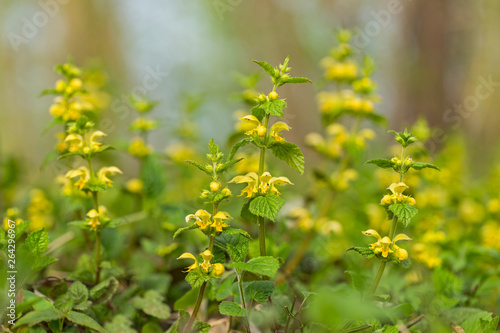 Fotografia Yellow archangel plant (Lamium galeobdolon) with flowers
