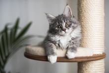 Blue Tabby Maine Coon Kitten R...