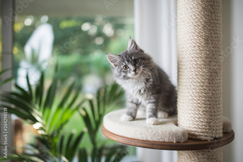 Chat blue tabby maine coon kitten standing on cat furniture platform looking at the camera in front of a garden