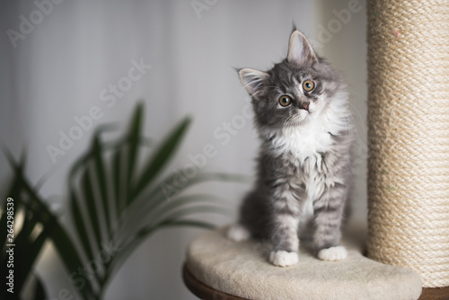 La pose en embrasure Chat blue tabby maine coon kitten standing on cat furniture tilting head beside a houseplant in front of white curtains