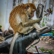 A Vain Monkey Stares At Itself In A Motorbike Mirror In Thailand