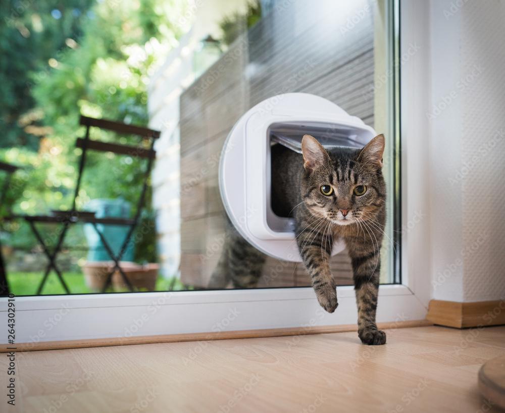 Fototapeta tabby european shorthair cat entering the room