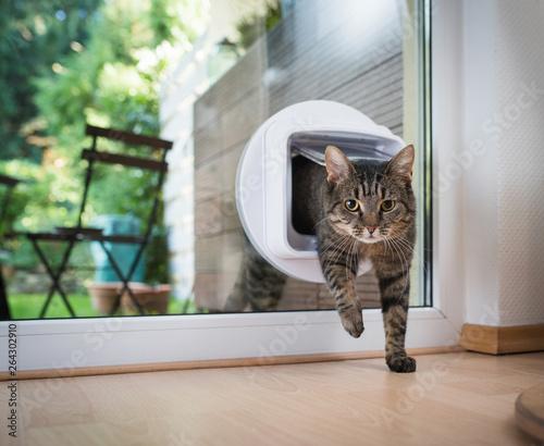 Foto tabby european shorthair cat entering the room
