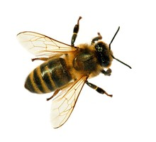 Bee Or Honeybee Or Honey Bee Isolated On The White