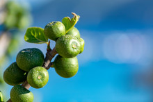 Unripe Green Figs Fruits Riping On Fig Tree