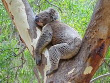 Sleeping Koala, Woodforde, SA