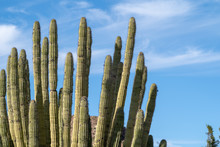 Spines Of The Organ Pipe Cactu...
