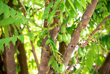 Averrhoa Bilimbi, Bilimbi Fruit, Cucumber Tree, Or Tree Sorrel. The Yellow-green Tropical Fruit With A Extremely Sour, Thin Shape, Soft Skin And Juicy Flesh.