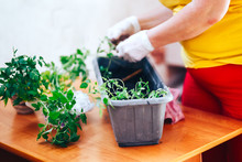 Tomatoes Seedlings At Hands In Gloves Keep Sprout Is Going O Plant Into Plastic Pot, Transportayion Before Olant In Ground Outdoor