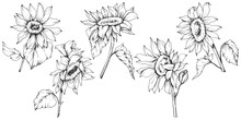Vector Sunflower Floral Botanical Flowers. Black And White Engraved Ink Art. Isolated Sunflower Illustration Element.
