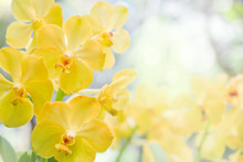 Nature Background Of Yellow Orchid Flowers In The Garden During Summer Day With Sunlight And Blur Bokeh Background.