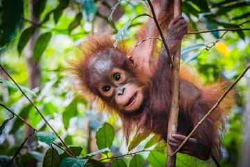 Panel Szklany Eko World's cutest baby orangutan hangs in a tree in Borneo